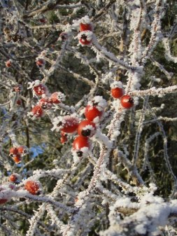 Rose_Hips_in_winter_-_geograph.org.uk_-_1113590
