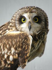 Lacey-Short-Eared-Owl